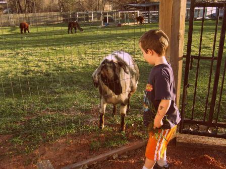 My son Kaleb, age 4 feeding Marvin the Goat